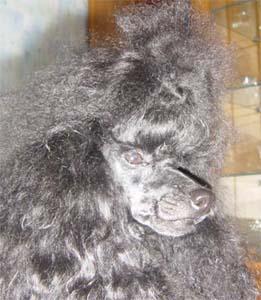 Славян Триумфатор - карликовый черный пудель