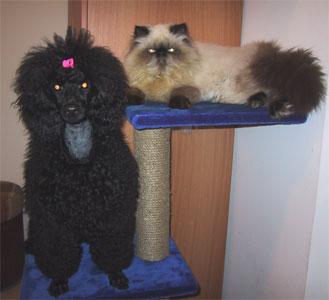 черный пудель и кот