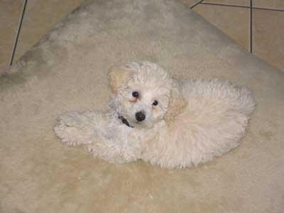 щенок карликового белого пуделя